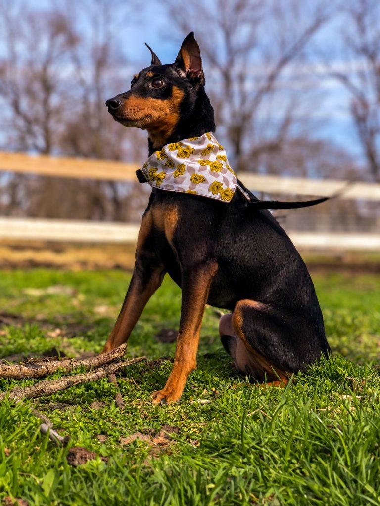 Picture of dog wearing a bandana